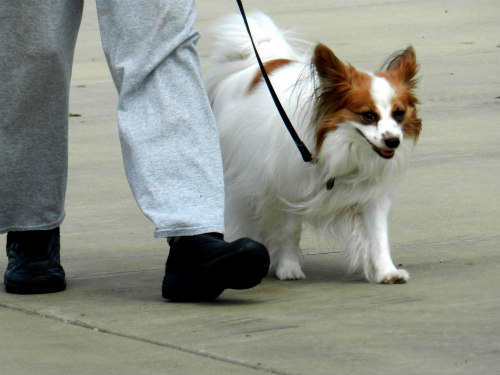 Companion Dogs: Dogs bred for sitting in your lap need less exercise than working dogs