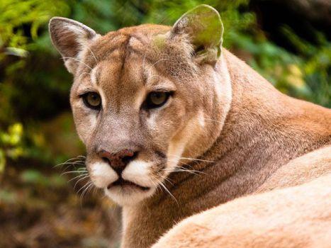 Mountain Lion (Photo by Malcolm/Creative Commons via Wikimedia)