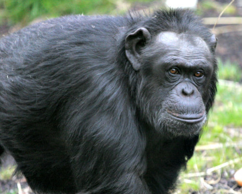 NIH Ends Testing on Chimpanzees: No more testing on chimps in the U.S.