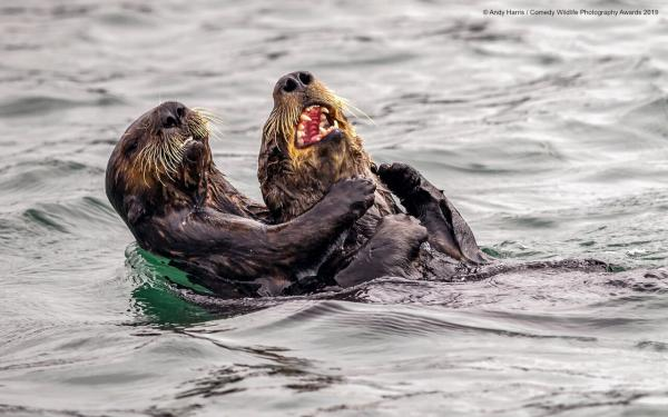 Sea Otter Tickle Fight, Photographer: Andy Harris
