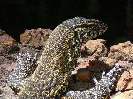 Nile Monitor Lizard (Photo by Aramari/Creative Commons via Wikimedia)