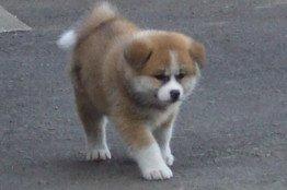 'Yume,' puppy Akita given to President Putin by Japanese Governor of Akita Prefecture: image via wsj.com/japanrealtime