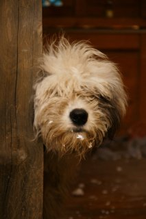 Old English Sheepdog: Image by Iamharryc, Flickr
