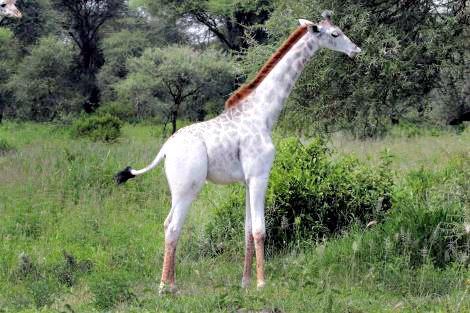 Omo the White Giraffe: Omo Image via Nat Geo Facebook Screenshot (photograph by Derek Lee)