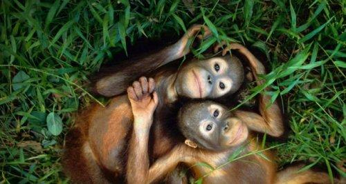Orphaned Orangutans