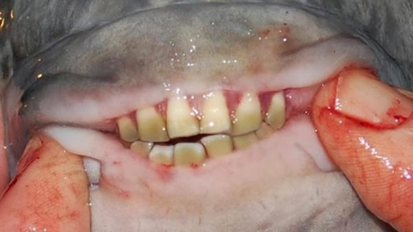 Pacu fish coming to a lake near you with big 39 human 39 teeth for Where are the fish biting near me