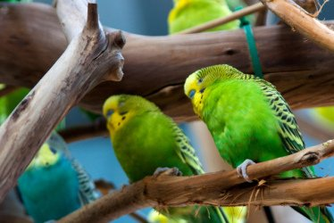 Parakeet: Image by 3dpete, Flickr