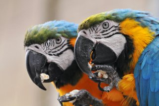 Parrots Love Popcorn: Image by Tambako the Jaguar, Flickr