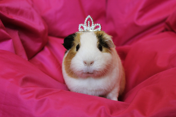 Image result for cute guinea pigs