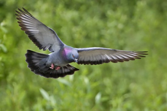 Rock dove, related to a pidgeon, has amazing capability of finding his way back home.