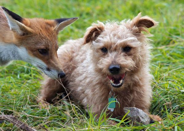 Rescued Fox And Hound Are Real-Life BFFs
