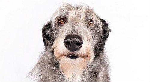 Scottish Deerhound: A Scottish Deerhound named Chelsea took 1st Place in the Hound Group