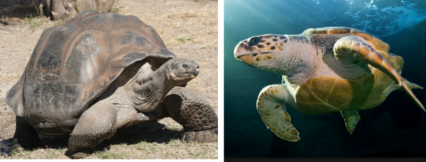 Loggerhead Turtles and  Galápagos Tortoises Avoiding Extinction