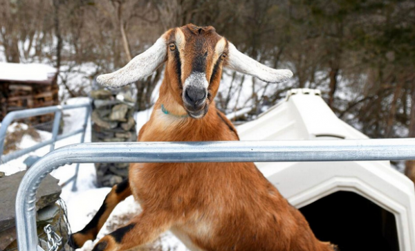 No Kidding! Lincoln The Goat Wins Mayoral Election