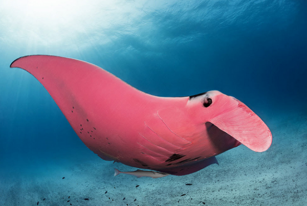 "Inspector Clouseau Is The Only ""Pink Manta"" In The World"
