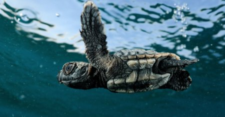 Adult Loggerhead Turtle
