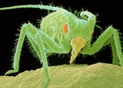 Aphid, known to destroy crops