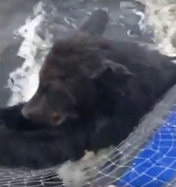Baby brown bear is holding onto fishing boat in Russian lake