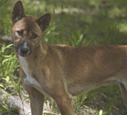 New Guinea Singing Dog In Captivity (Photo by Jean/Creative Commons via Wikimedia)