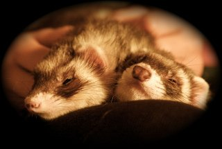 Sleepy Ferrets by Down At The Zoo, Flickr