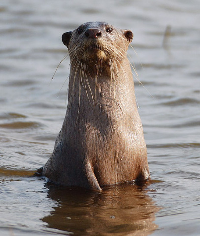Smooth-Coated Otter (Photo by Yathin S Krishnappa/Creative Commons via Wikimedia)