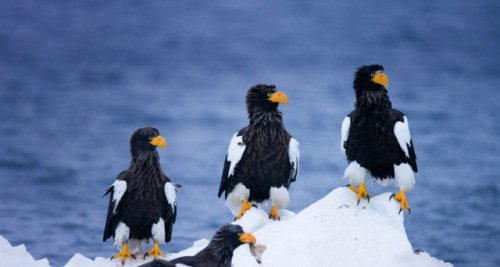 Stellar's Sea Eagles