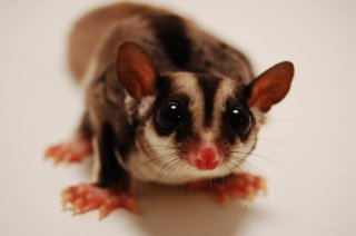Sugar Glider: Image by GarrettTT, Flickr