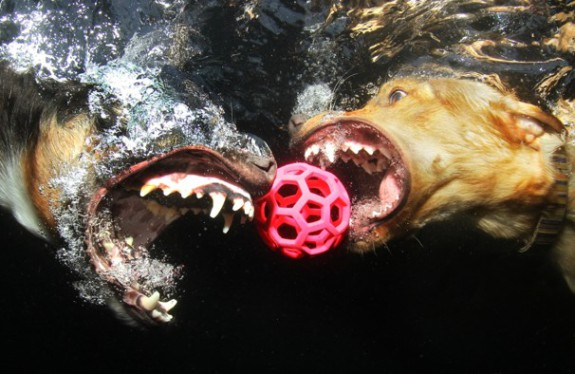 """Sharing is Caring."" A Border Collie and a yellow Labrador Retriever simultaneously pursue a ball underwater: Photo by Seth Casteel/TandemStock.com, via washingtonpost.com"