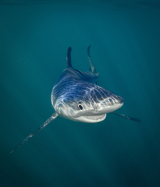 Tanya Houppermans, Smiling Blue Shark