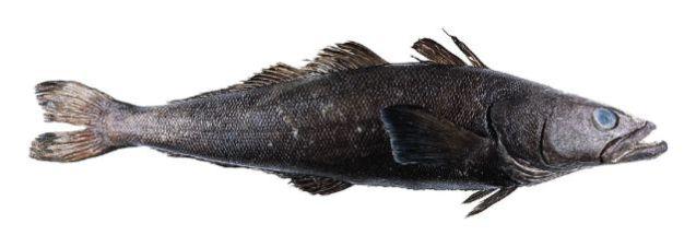 Toothfish