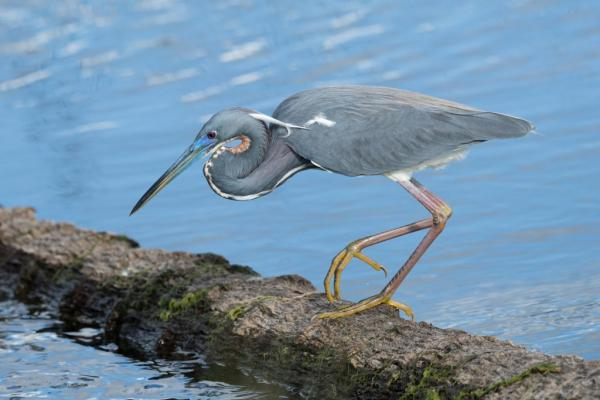 First Place, Overall: Tricolored Heron Thomas Anderson, Florida