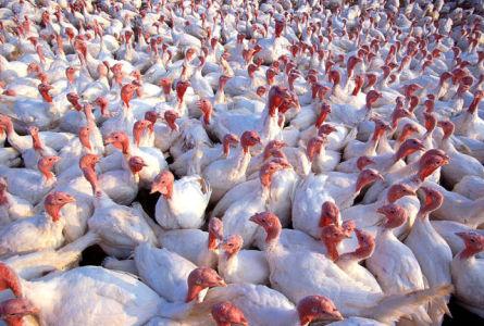 Domesticated Turkeys (Public Domain Image)
