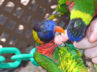 When Lorikeets Attack: Image by Donielle, Flickr
