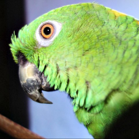 Yellow Naped Amazon Parrot: Even tropical birds can suffer from extreme heat