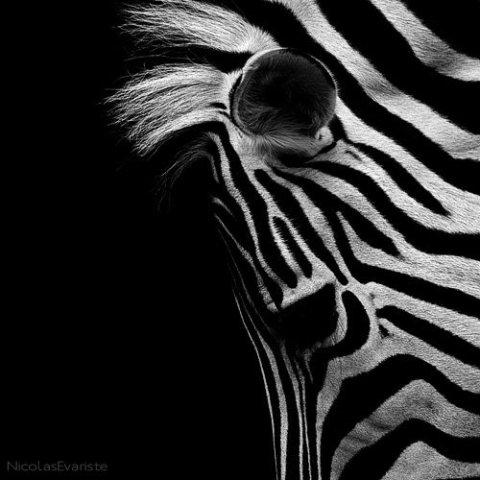 Zebra II by Evariste: Zebras must know how good they look in black and white. Zebra art by Evariste.