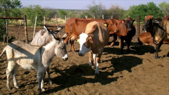 Guard donkeys are great for cattle and other livestock: image via bbc.co.uk
