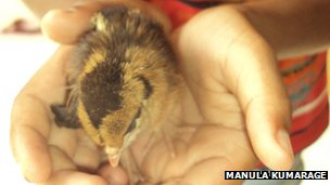 Live chick born by mother hen: image via bbc.co.uk