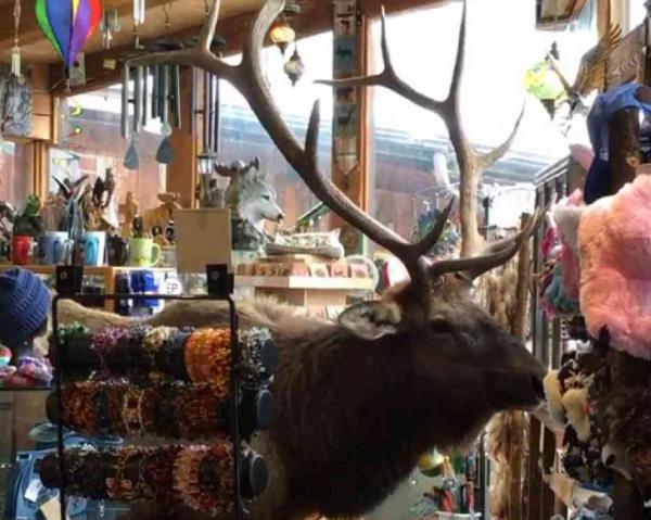 Bull Elk Shopping in Colorado