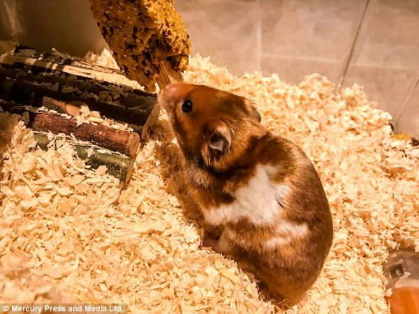 Fudge the Hamster Back to His Regular Routine