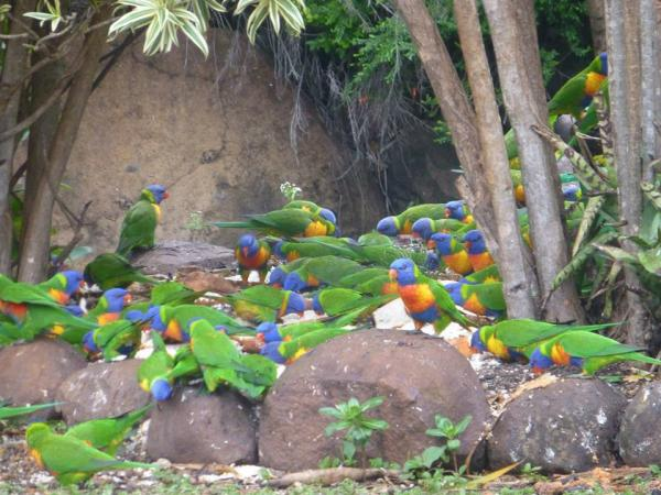 Beautiful Visiting Lorikeets