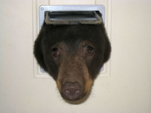 Bear trying to enter cat door. (Image via KGW, Photo by Doug Harder)