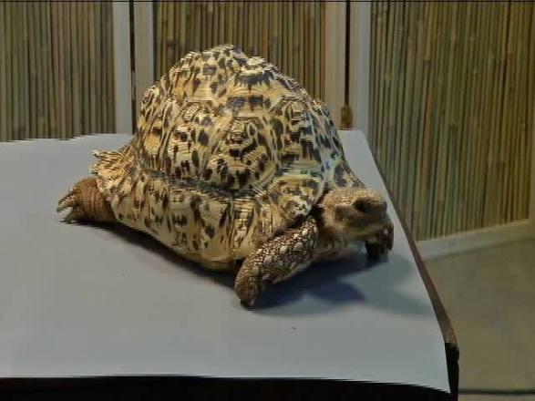 Cleopatra the Tortoise (You Tube Image)