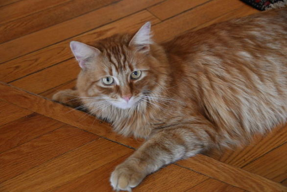 Cat (Photo by Dwight Sipler/Wikimedia Crative Commons)