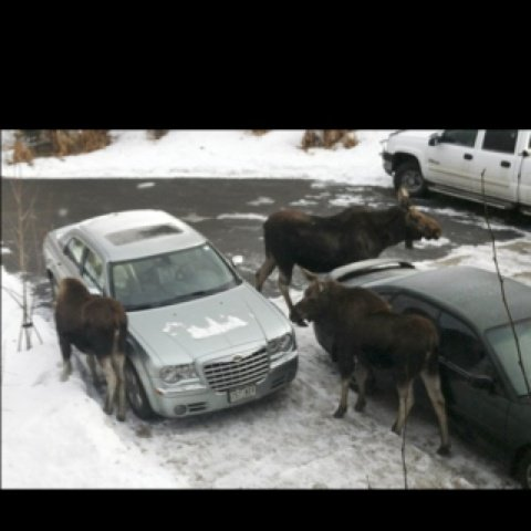 Moose Licking Cars (Image via Pinterest)