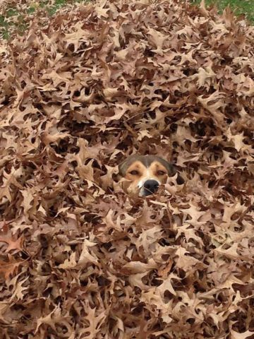 Dog Hiding in Leaves (Image via imgur)