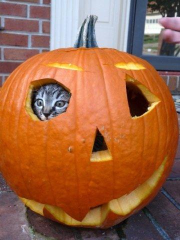 Kitten in a Jack-O-Lantern (Image via Cutest Paw)