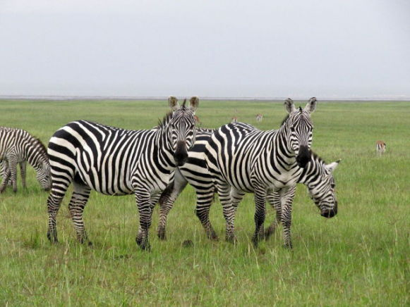 Zebras (Photo by Daryona/Creative Commons via Wikimedia)