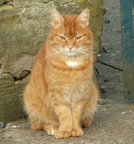 Ginger and White Tabby Cat (Photo by Christine Westerback/Creative Commons via Wikimedia)