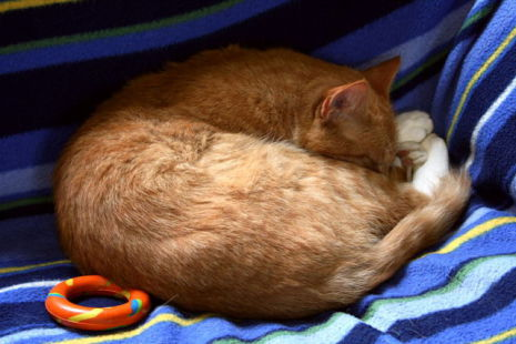 Ginger and White Tabby Cat Sleeping (Photo by Curled/Creative Commons via Wikimedia)