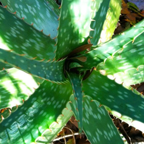 Poisonous Plants: 10 Outdoor Plants Poisonous To Cats: Aloe can be poisonous to cats